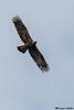 Golden Eagle,Victoria B.C.