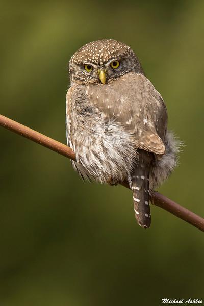 Northern Pygmy Owl, Sooke, B.C.
