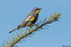 Yellow rumped Warbler,Victoria,B.C.