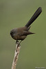 New Zealand Fantail(dark morph)