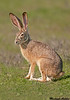 Snow shoe hare,Sacramento wildlife refuge,(California)