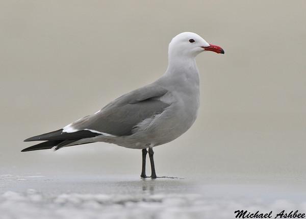 Heermans Gull,Moss landing(California)