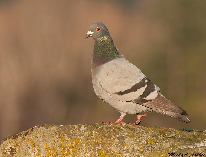 Rock Pigeon,Victoria(British Columbia)