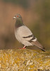 Rock Pigeon,Victoria(British Columbia)