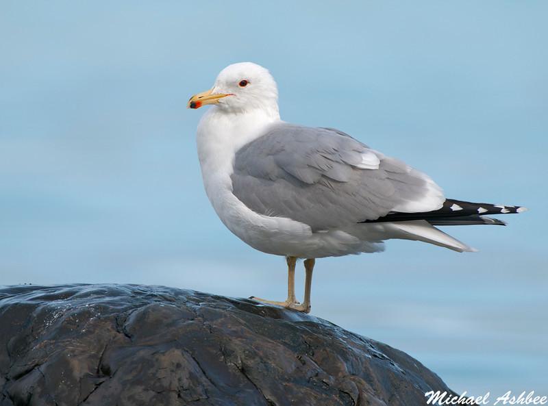 California Gull, Qualicum Beach(British Columbia)