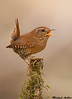 Pacific Wren,Victoria(British Columbia)