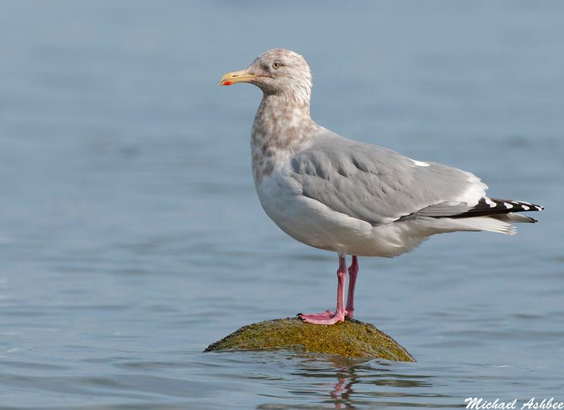 American Herring Gull, Qualicum Beach(British Columbia)
