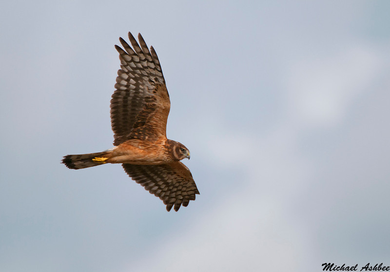 Northern Harrier,Boundary bay,(British Columbia)