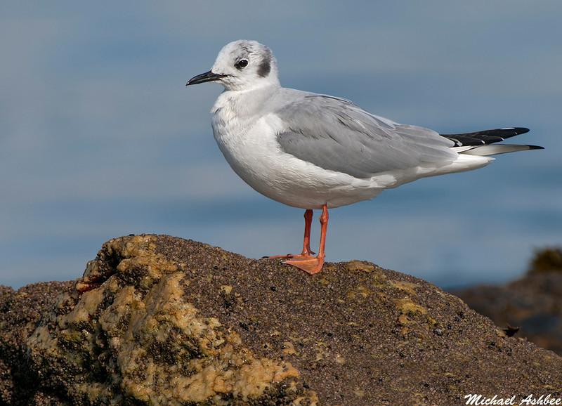 Bonapartes Gull, Qualicum Beach(British Columbia)