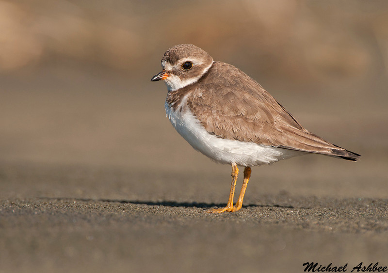 Semipalmated plover,Point reyes(California)