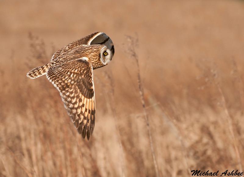 Short eared Owl,Boundary Bay(British Columbia)