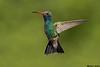 Broad-billed Hummingbird,Madera Canyon,Arizona