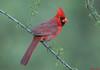 Northern Cardinal,Sedona,Arizona