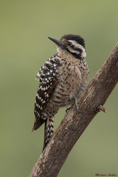 Ladder-backed Woodpecker,Sedona,Arizona