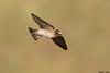 Cliff Swallow,Sacramento,California