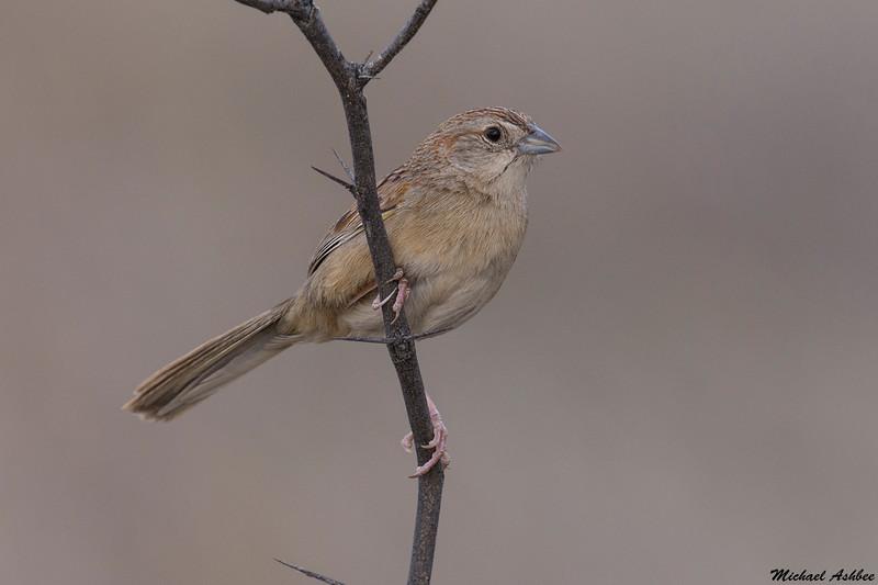 Botteri's Sparrow, Patagonia,Arizona