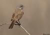 Bell's Sparrow,San Bernardino,California