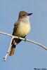 Brown-crested Flycatcher,Sedona,Arizona