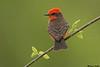 Vermillion Flycatcher,Sedona,Arizona