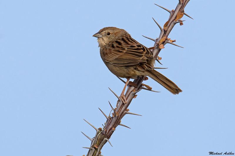 Botteri's Sparrow,Patagonia,Arizona