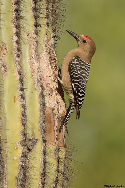Gila Woodpecker,Phoenix,Arizona