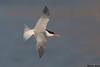 Elegant Tern,Malibu California