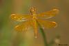 Mexican Amberwing,Phoenix,Arizona