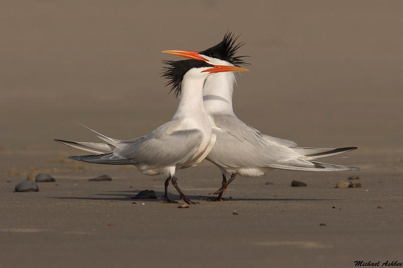 Elegant Terns,Malibu,California