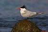 Elegant Tern,Malibu,California