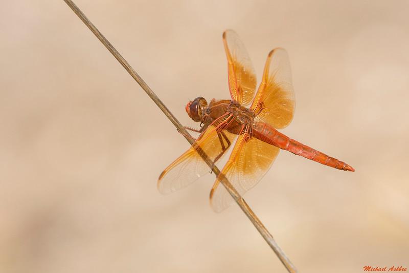 Flame Skimmer,Cottonwood,Arizona