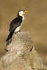 Little pied Shag