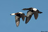 Paradise Shelducks
