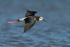 Black Stilt X Pied Stilt