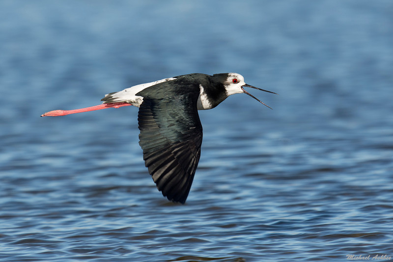 Pied X Black Stilt