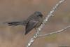 New Zealand Fantail (black morph)