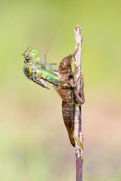 Clubtail species?
