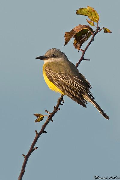 Tropical Kingbird,Neah Bay,Washington
