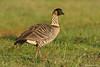Nene Goose