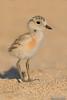 New Zealand Dotterel Chick