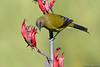 New Zealand Bellbird
