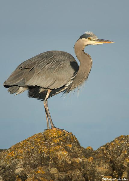Great Blue Heron,Victoria,B.C.