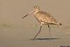 Marbled Godwit,Moss landing,California