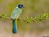 Green Jay,Santa Clara,Texas