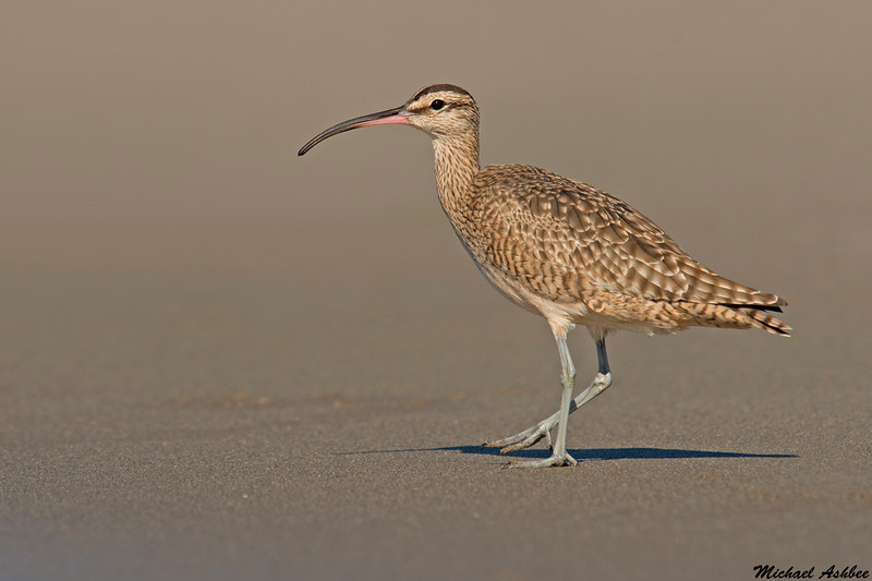 Whimbrel,Moss landing,California
