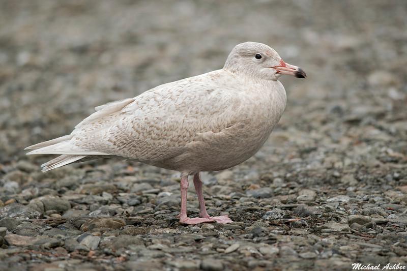 Glaucous Gull,Victoria,B.C.