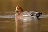 Eurasian wigeon,Victoria,B.C.