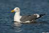 Western Gull,Moss landing,California