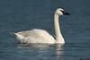 Trumpeter Swan,Victoria,B.C.