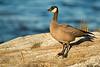 Cackling goose,Victoria,B.C.