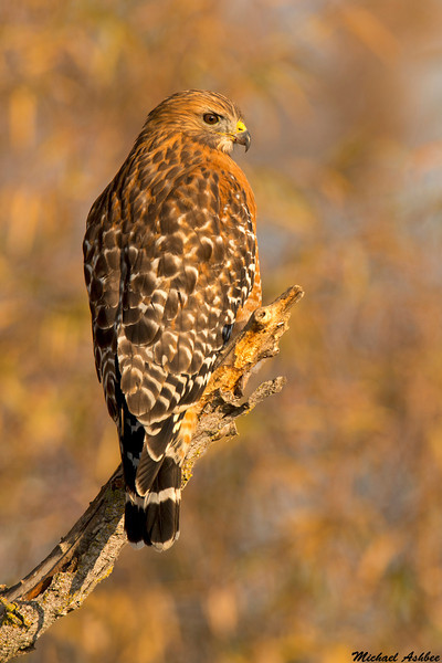 Red Shouldered Hawk,Colusa County,California
